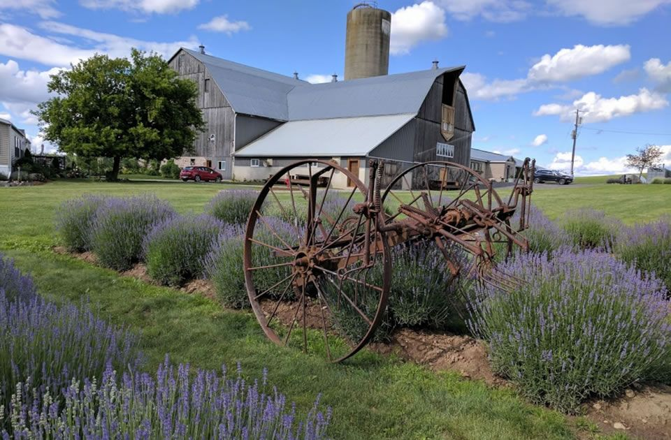 Photo of old farm equipment in a lavender field with a large rustic barn in the background